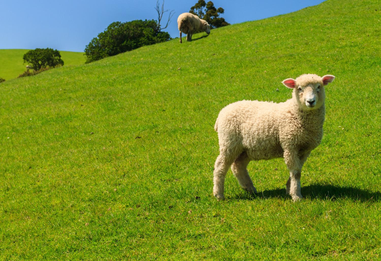 Las Piedras Lamb
